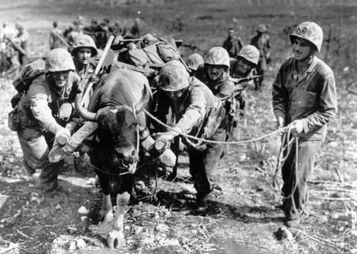 Using every available means of transportation to the front lines on Saipan, Mariana Islands, these U.S. Marines loaded an ox cart but had to use a lot of persuasion and a little teamwork to get the ox in motion. AP Photo