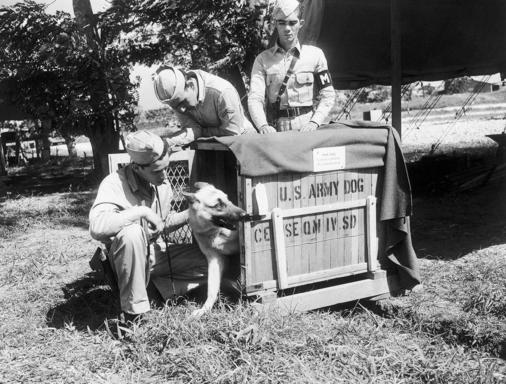 Uncle Sam's war dog sentries have seen their first overseas duty in Puerto Rico Jan. 13, 1943. 'Adrian' the police dog sentry can't wait to leave his portable Kennel. With him left to right, are Private Louis Robbins, dog trainer of Long Island City, Pfc. Juan Gotos of Puerto Rico, and Pvt. Carlos Rodriguez, also of Puerto Rico. (AP Photo)